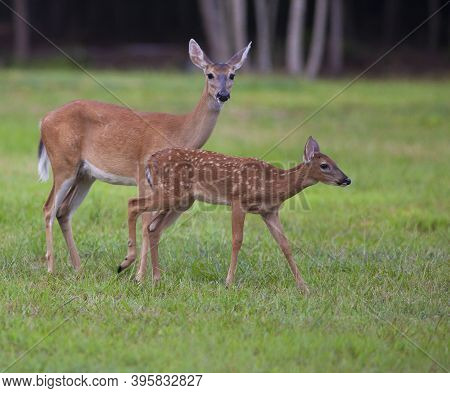 Whitetail Doe And Its Young Fawn On A Grassy Field
