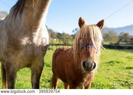 Nice Brown Pony Looking At The Camera Next To A White Horse. Waiting For Food. Pets Concept.