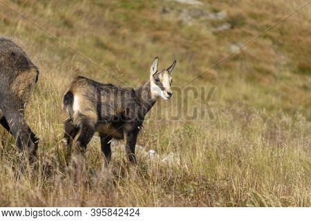 Tatra Chamois (rupicapra Rupicapra Tatrica) In A Mountain Natural Environment.