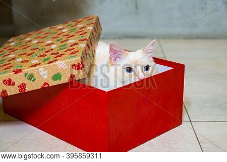 Ragdoll Cat Hiding In The Red Christmas Gift Box