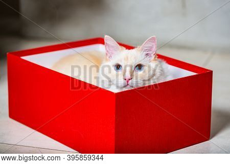 Light Ragdoll Cat With Big Blue Eyes Hiding In Red Christmas Gift Box