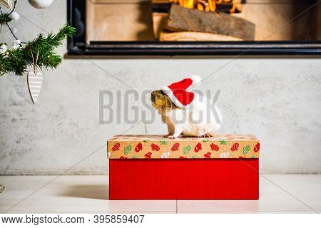Guinea Pig With Red Santa Claus Hat Looking At Christmas Tree And Sitting On Christmas Box In Front