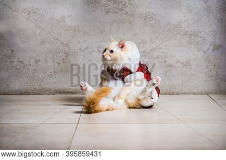 Funny Ragdoll In Housecoat Sitting On The Back On The Floor