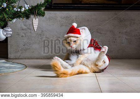 Ragdoll Cat In Santas Clothes Sitting In Bad Mood Under Christmas Tree