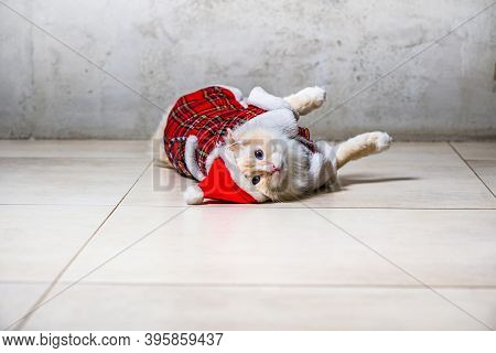 Fluffy Ragdoll Cat In Santas Hat And Housecoat Lying On The Floor