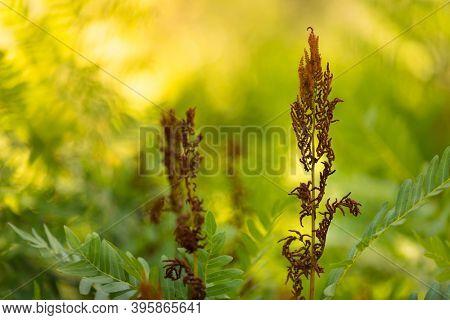 Osmunda fern sporangias and leaves under a warm spring sunlight