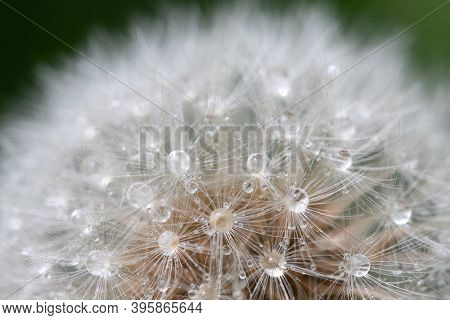 Dandelion head seed closeup with dew drops