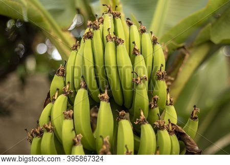 A Bunch Of Beautiful Green Bananas On The Side Of A Banana Tree. Plantation. Agriculture