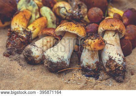 Harvest Of Forest Mushrooms. Boletus Edulis On Sackcloth