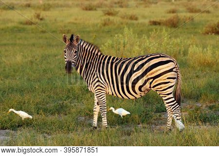 The Plains Zebra (equus Quagga, Formerly Equus Burchellii), Also Known As The Common Zebra Or Burche