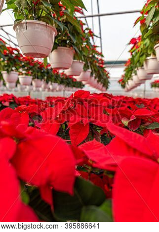 Plantation Of Flowers Poinsettia In Greenhouse. Blooming Poinsettia In The Farm