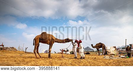 November 2019 Pushkar,rajasthan Camel Traders Checking The Teeth Of Camel In Livestock Camel In Sand