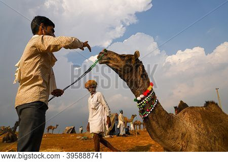 November 2019 Pushkar,rajasthan Indian Cameleers With Their Camels In Sand Dunes Of Thar Desert With