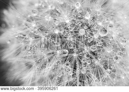 Black and white dandelion head seed closeup with dew drops