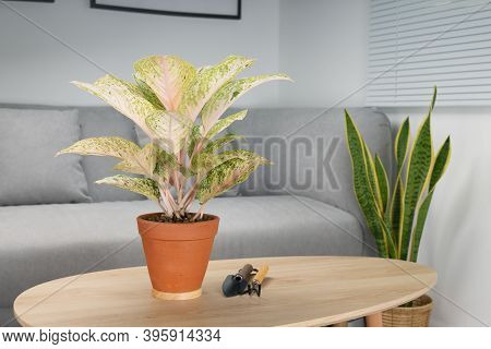 Aglaonema Laksap In Clay Pot On Wooden Table In Living Room. Air Purifying Plants For Indoor.