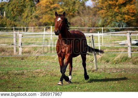 Beautiful Brown Quarter Horse Is Running On The Paddock In The Sunshine