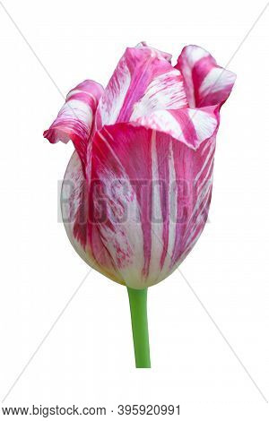 Beautiful One White Burgundy Tulip Flower On A White Background. Isolated. Closeup. No Shadows.