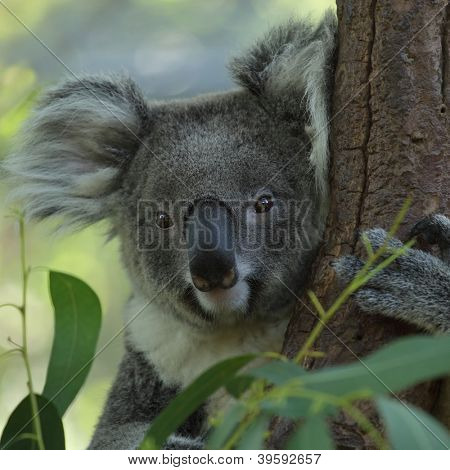 Close up of koala embracing a tree poster