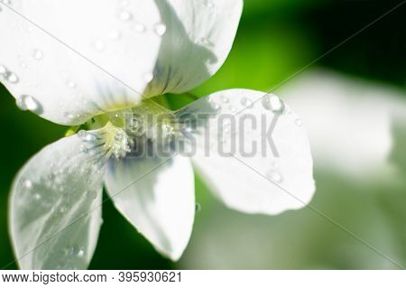Macro Photo Of White Viola Canadensis Flower.little Floret Close Up With Delicate Wet Petals