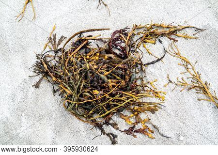 Seaweed On The Shore Of Portnoo Beach In County Donegal - Ireland