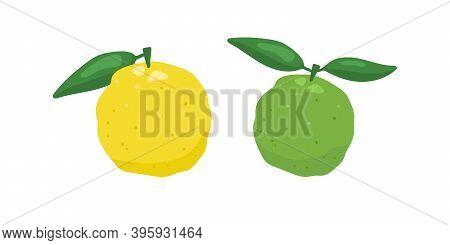 Green And Yellow Yuzu Japanese Citron Fruit Vector Illustration Isolated On White Background. Full C