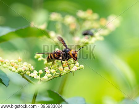 The Japanese Variant Of The Asian Giant Hornet, Vespa Mandarinia, Also Known As A Murder Hornet In T