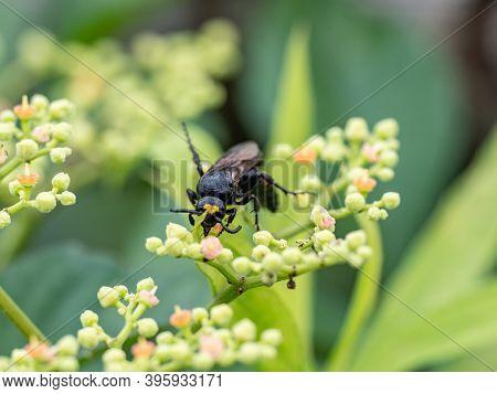 A Black Japanese Scolia Wasp, Scolia Fascinata Or Carinoscolia Melanosoma, Hunts Through The Small B