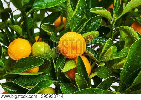 tangerine tree with fruits close up