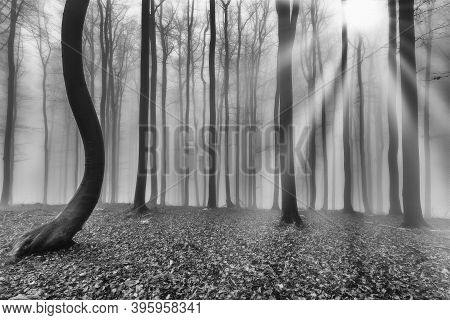 Autumn Beech Forest With Mist In The Background And Sun's Rays