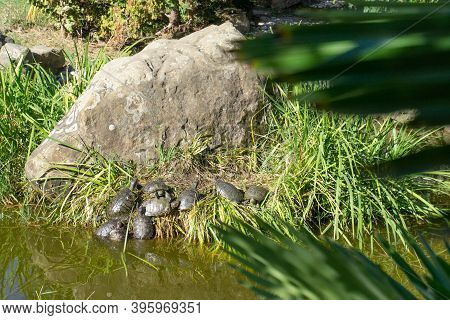 Red-eared Turtles In Nature. Many Small Red-eared Turtles Bask In The Sun.