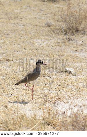 Photo Of A Vanellus Coronatus Bird In Namibia