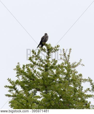 View Of A Nutcracker Bird On A Tree