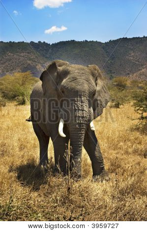 Full Picture of Elephant Staring at the Camera poster