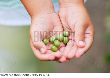 Little Girl Picking Green Peas In A Garden. Autumn Vegetable Harvest