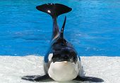 A killer whale at the Sea World show in San Diego California. So big! poster