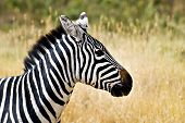 Profile of wild zebra with grass plains in the background poster