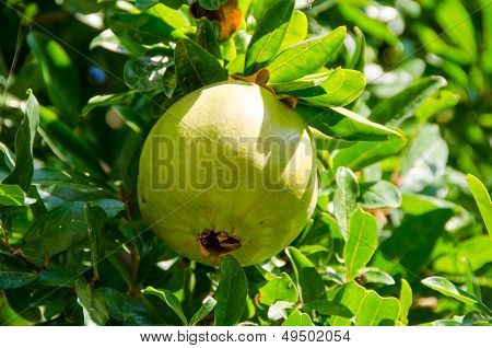 Green Pomegrante