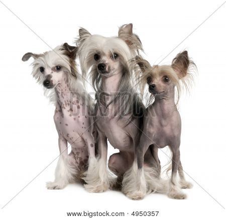 Group Of Three Chinese Crested Dog - Hairless (3 Years Old)