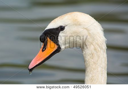 Close Up Of A Swan