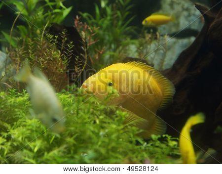 Zebrasoma Flavescens In Aquarium