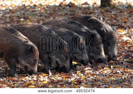Baby of wild boar in the forest