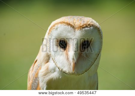 Headshot Of Common Barn Owl