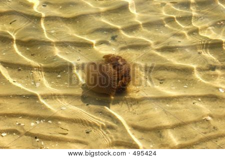 Australian Spotted Jelly Fish