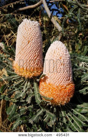 Native Australia's Banksia