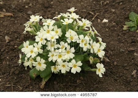 Little Bush Of Beautiful Primrose In The Spring