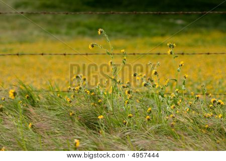 Field Of Yellow Wild Flowers