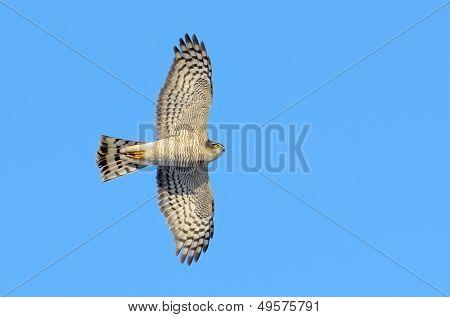 bird of prey in flight (accipiter nisus)