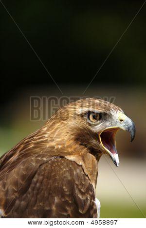 Crying Red Kite  Milvus Milvus