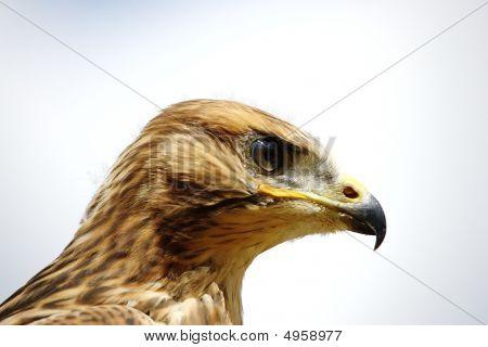 Young Red Kite  Milvus Milvus