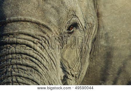 Close-up of African Elephant (Loxodonta africana) selective focus